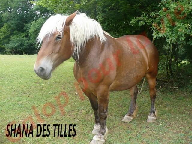SHANA - Trait Comtois née en 2006, et BB Chérokis (ONC Trait - 2012) - adoptés en juillet 2011 par stephele12 Shana_12
