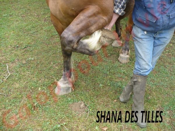 SHANA - Trait Comtois née en 2006, et BB Chérokis (ONC Trait - 2012) - adoptés en juillet 2011 par stephele12 Shana_13