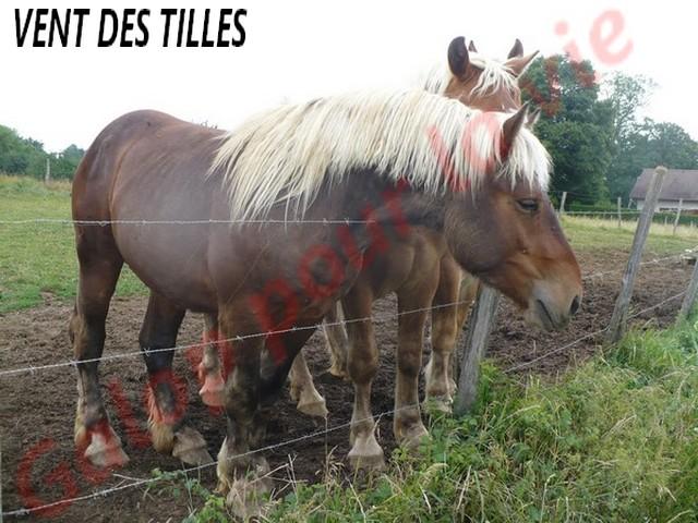 VENT DES TILLES - Trait Comtois né en 2009 - adopté en juillet 2011 Vent_d12