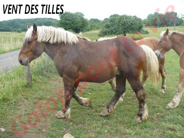 VENT DES TILLES - Trait Comtois né en 2009 - adopté en juillet 2011 Vent_d13