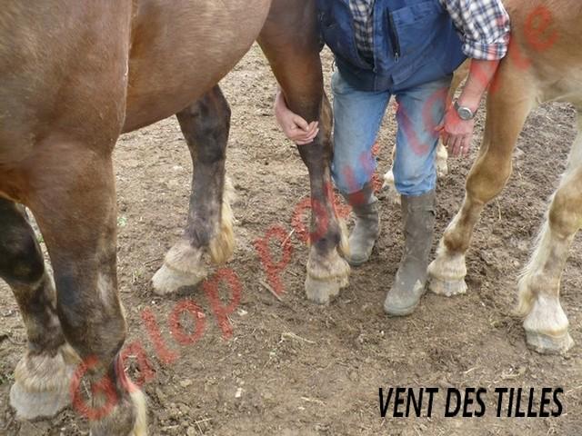 VENT DES TILLES - Trait Comtois né en 2009 - adopté en juillet 2011 Vent_d15