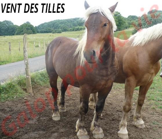 VENT DES TILLES - Trait Comtois né en 2009 - adopté en juillet 2011 Vent_d16