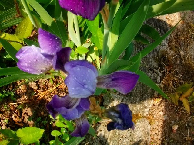 Iris.... 1ere_r10