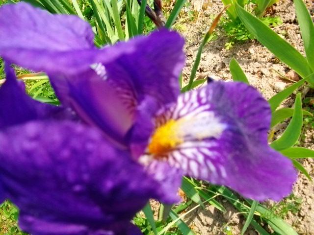 Iris.... 1ere_r11