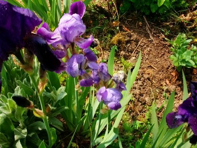 Iris.... 1ere_r12