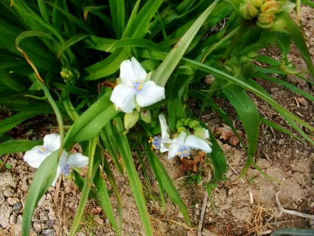 alors la......... Tradescantia x andersoniana, Ephémère de Virginie 1ere_r14