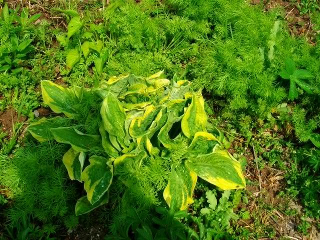 hosta Plantaginea Grandiflora 1ere_r15