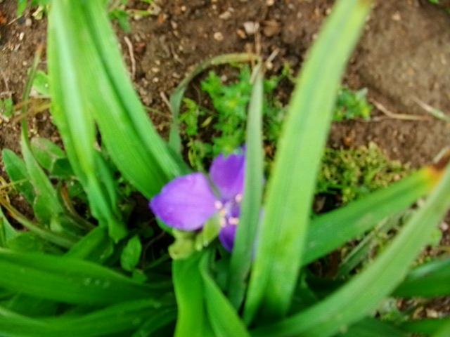 alors la......... Tradescantia x andersoniana, Ephémère de Virginie 3mai_022