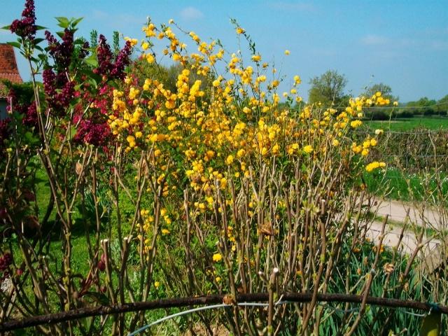 Corete a fleurs double Avril_17