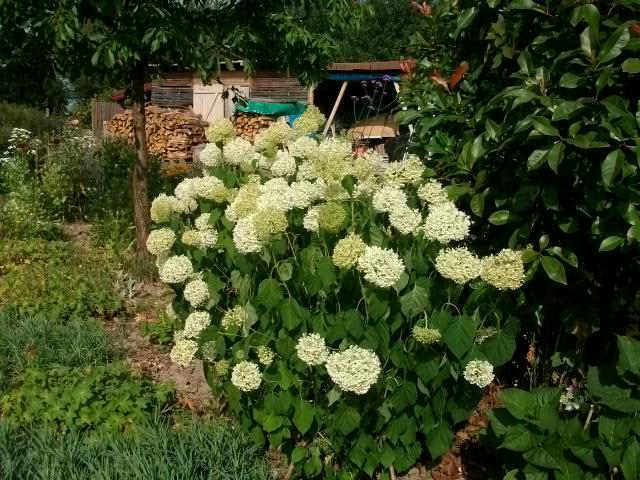 Hydrangea   Hortensia des jardins - Page 2 Juin_039