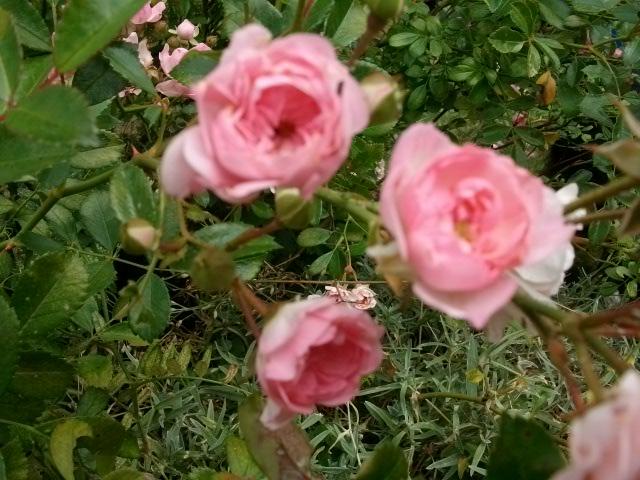 Rosa 'The Fairy' !!! Pentec30