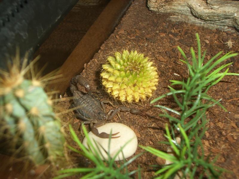 Mesobuthus Martensii Cimg0916