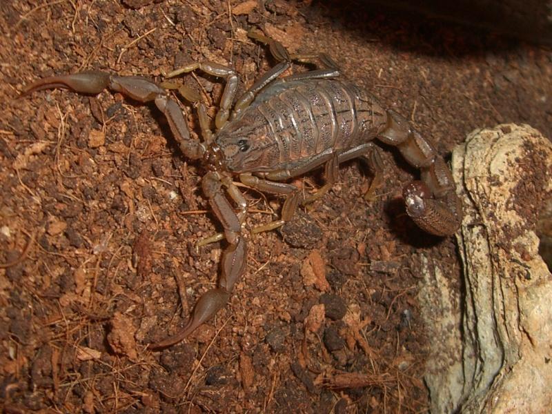 Mesobuthus Martensii Cimg0919