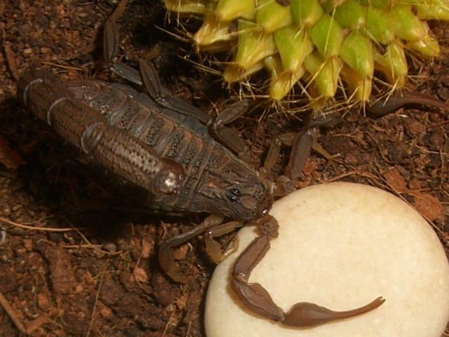 Mesobuthus Martensii Cimg0921