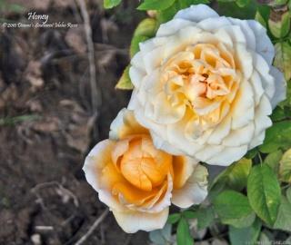 Rosa Honey milk Ret7815