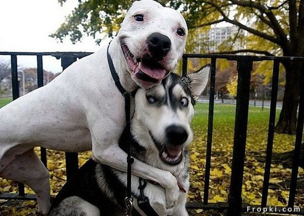 Comedic Husky Picture Thread - Page 2 Funnyh10