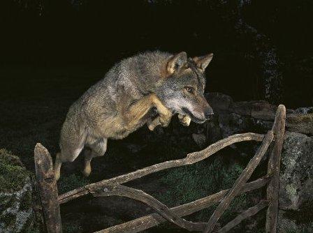 big wolves - w2