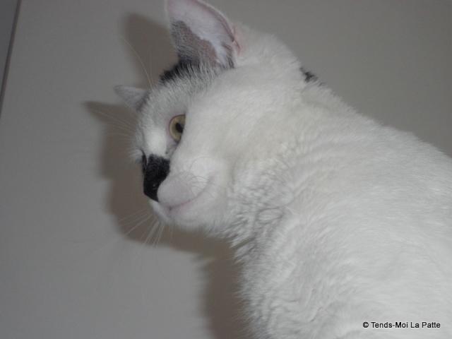 "FIGOLU rebaptisé ""PEPITO"" mâle blanc et noir de 1 an 09610"