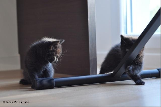 Zöyo et Lyka, petits chatons noirs A15