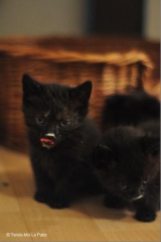 Zöyo et Lyka, petits chatons noirs Dsc_0615