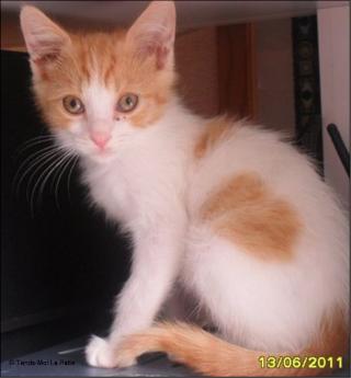 TIPOTE mâle blanc et roux de 2 mois et demi  Pictur19