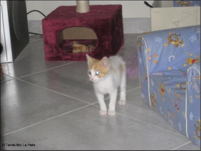 TIPOTE mâle blanc et roux de 2 mois et demi  Pictur67