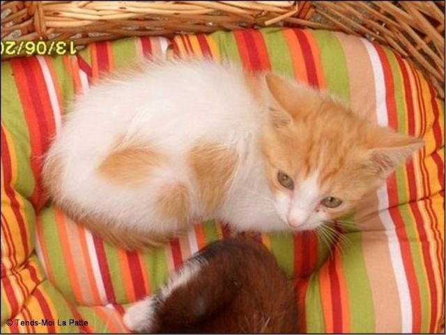 TIPOTE mâle blanc et roux de 2 mois et demi  Pictur69