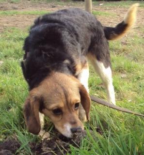 FOREVER, croisée beagle femelle, 8 mois (35) Foreve11