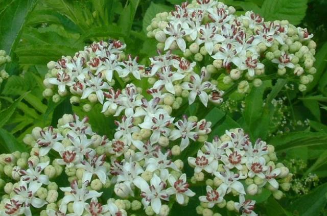 Sureau noir / Sambucus nigra Sambuc10