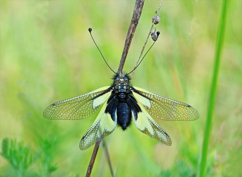 Libelloides Ascalafi 6373-c10