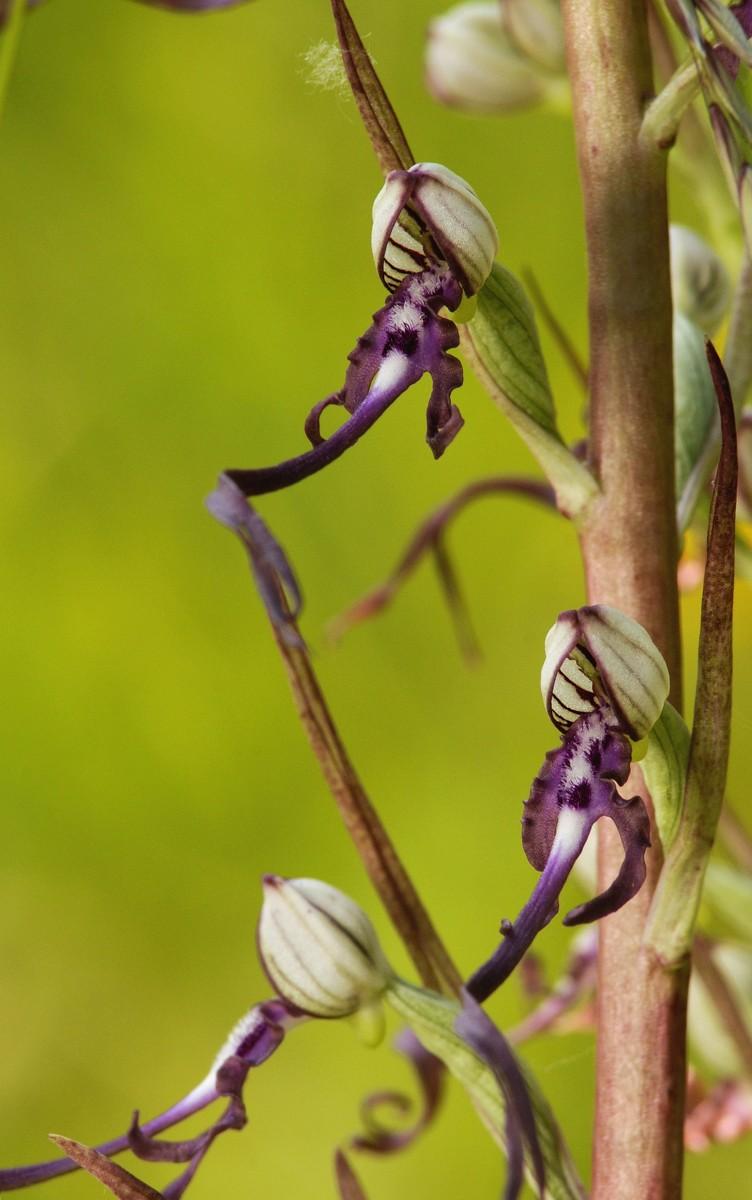 Orchidee _dsc7810