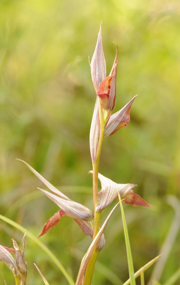 Orchidee _dsc7910