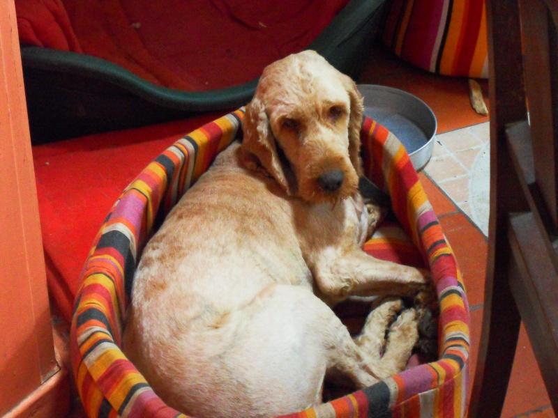 ERMIONE  croisée  griffon   née  01/09/2009 adoptée par VANESSA ( 72 ) Sdc10815