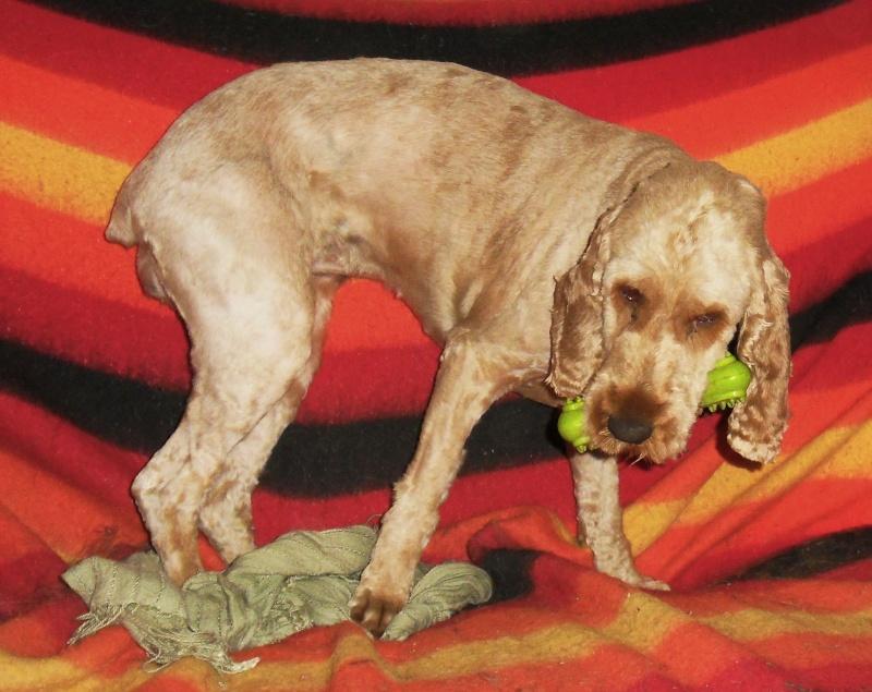 ERMIONE  croisée  griffon   née  01/09/2009 adoptée par VANESSA ( 72 ) Sdc10816