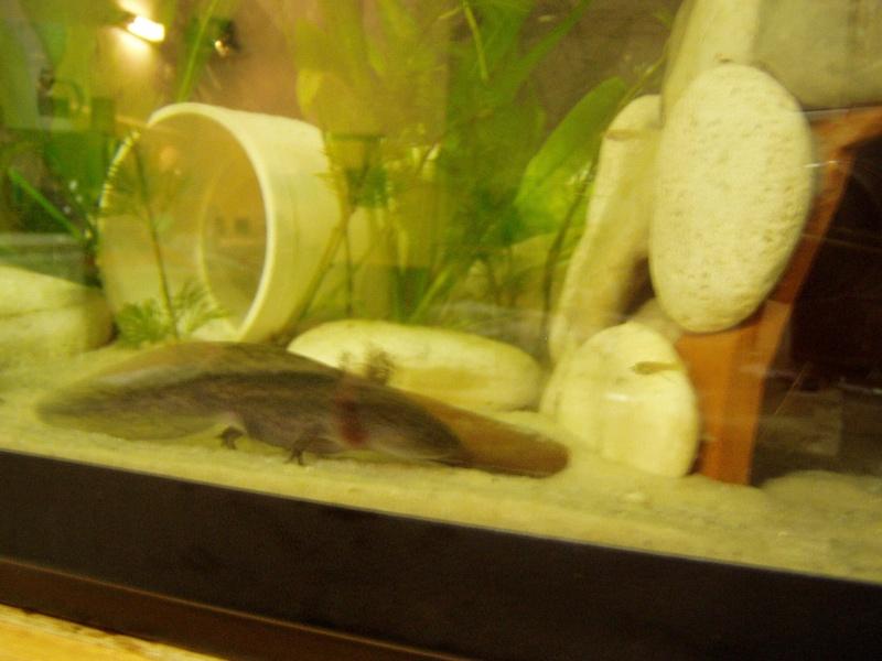 le bac des axolotls Foto_217
