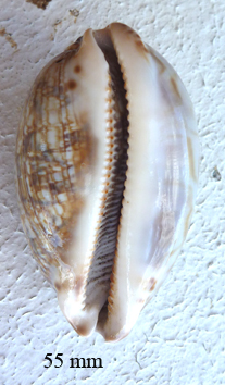 Mauritia histrio - (Gmelin, 1791) Cyprae11