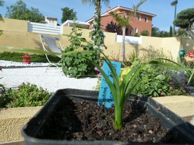 1er semis de cactées et de Pachypodium P1000815
