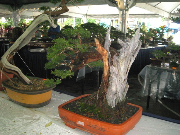 3rd Malaysia Bonsai Carnival-Baeckea Frutescens almost steal the show Img_4014