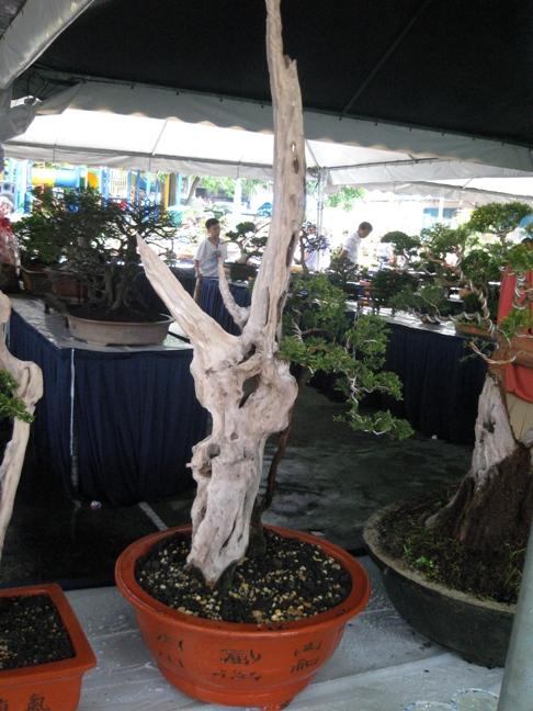 3rd Malaysia Bonsai Carnival-Baeckea Frutescens almost steal the show Img_4015