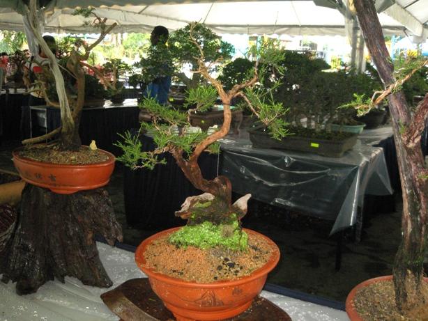 3rd Malaysia Bonsai Carnival-Baeckea Frutescens almost steal the show Img_4020