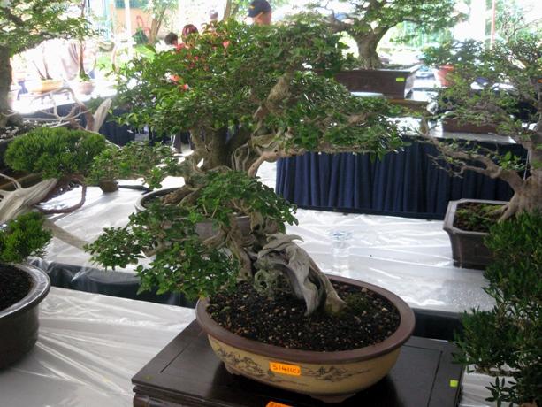 3rd Malaysia Bonsai Carnival-Baeckea Frutescens almost steal the show Img_4022