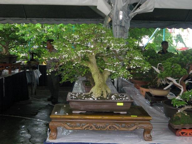 3rd Malaysia Bonsai Carnival-Baeckea Frutescens almost steal the show Img_4027