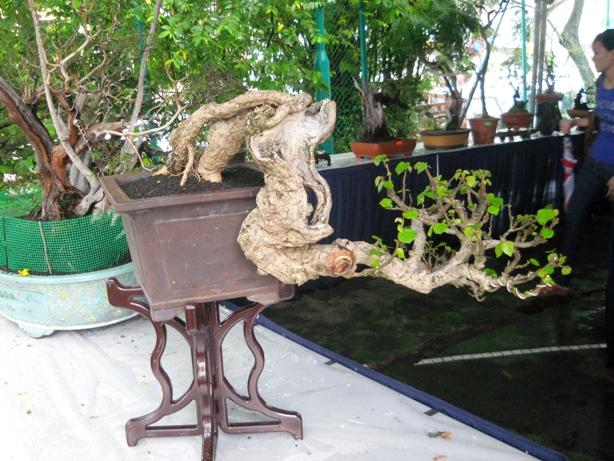 3rd Malaysia Bonsai Carnival-Baeckea Frutescens almost steal the show Img_4029