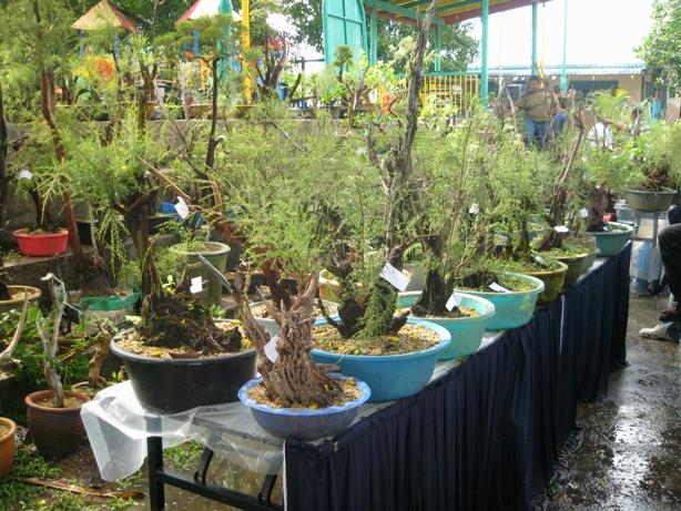 3rd Malaysia Bonsai Carnival-Baeckea Frutescens almost steal the show Img_4032