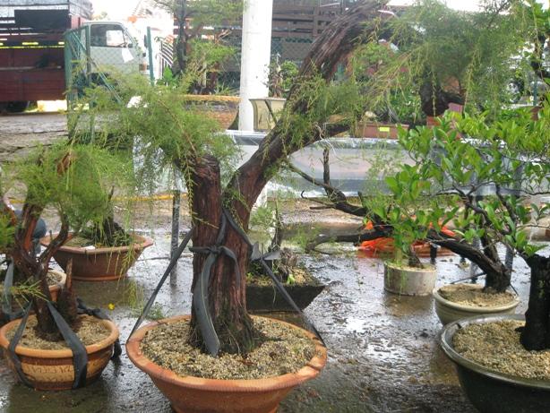 3rd Malaysia Bonsai Carnival-Baeckea Frutescens almost steal the show Img_4035
