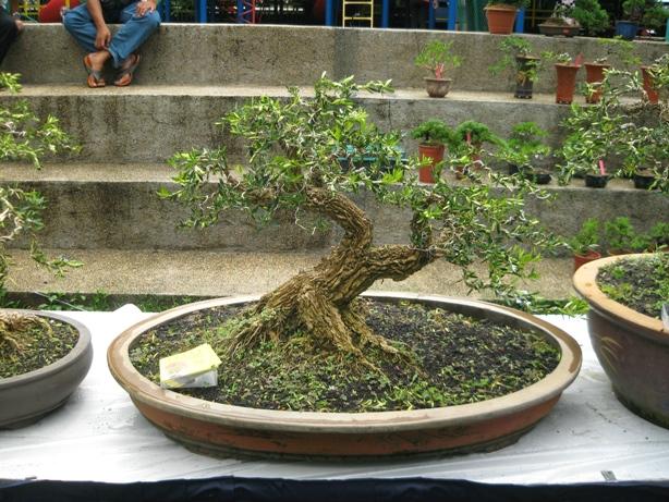 3rd Malaysia Bonsai Carnival-Baeckea Frutescens almost steal the show Img_4037