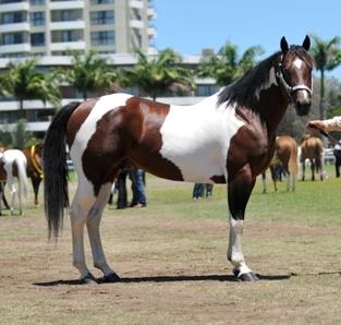 Quelques Paint Horse de Nouvelle Calédonie Pat20110