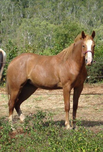 Quelques Paint Horse de Nouvelle Calédonie Smartg10