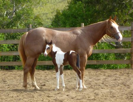 Quelques Paint Horse de Nouvelle Calédonie Tronas10