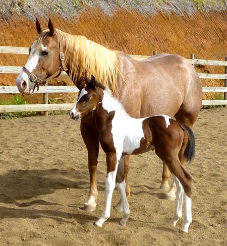 Quelques Paint Horse de Nouvelle Calédonie Tronas11